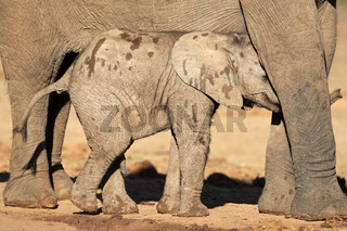 African elephant cal