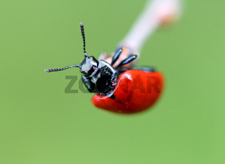Little red beetle
