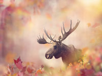 Wild Moose in the Autumn Forest