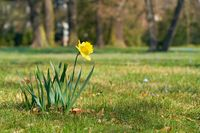 Daffodil (Narcissus pseudonarcissus) on a meadow in the Herrenkrugpark near Magdeburg in the spring