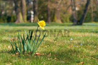 Osterglocke (Narcissus pseudonarcissus) auf einer Wiese