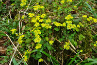 alternate-leaved golden saxifrage,