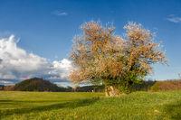Selketal harz einzel stehender wilder Apfelbaum mit Regenbogen