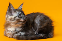 Cute female kitten of Maine Shag of color black smoke lying down on yellow background, looking away