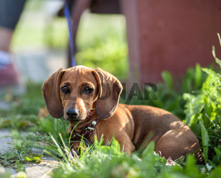 Beautiful brown dachshund dog in the park. The dog is resting.