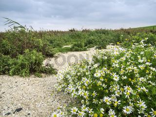 Leucanthemum vulgare Meadow daisy flat angle view