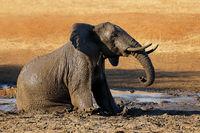 African elephant (Loxodonta africana) playing in a muddy waterhole