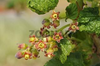 Blütenstand der Roten Johannisbeere