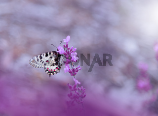 Beautiful Violet Nature Background.Floral Art Design.Macro Photography.Butterfly and Lavender.