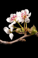 Detail shot of a branch of the apple tree with flowers, buds and leaves isolated on black