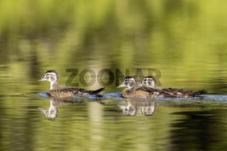 Wood duck chicks swimming.