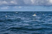 Gannet seabirds, Morus Bassanus, flying and floating over blue waters of Atlantic Ocean