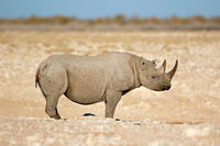 A black rhinoceros (Diceros bicornis) in the arid landscape of Etosha National Park