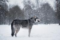 The beautiful wolf dog of Saarlos