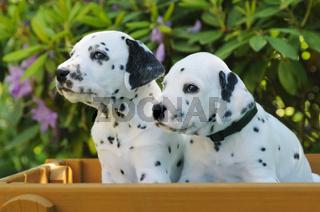 Zwei Dalmatiner Welpen, fuenf Wochen alt