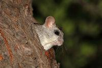 An Acacia tree rat (Thallomys paedulcus) in natural habitat