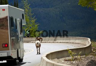 Canadian goat