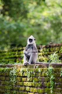 Monkey on the ancient wall in a tropical forest