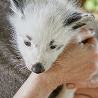 fox cub and womans hand