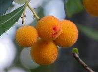 fruits of the strawberry tree