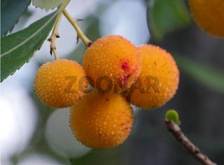 Früchte des Erdbeerbaumes auf Sardinien