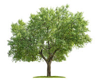 Isolated Almond tree on a white background