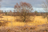 Landscape with birch tree in the High Fens in Belgium
