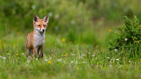 Young red fox standing on blossoming meadow in sunlight