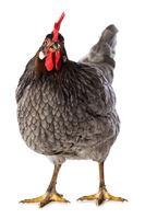 Grey hen isolated on white background