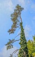 Waldkiefer 'Pinus sylvestris'