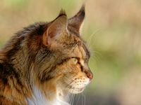 maine coon cat on a meadow