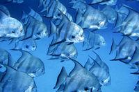 Atlantic Spadefish, Caribbean Sea, Playa Giron, Cuba