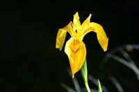210610-243 Sumpfschwertlie, Yellow flag, Iris pseudacoris.jpg
