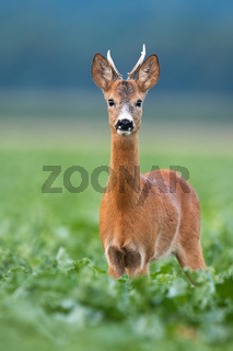 Young roe deer buck looking to the camera in vertical composition on field