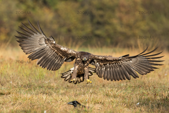 White-tailed eagle landing on the ground from front view