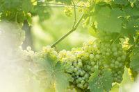 White grapes (Vitis vinifera) in a wineyard