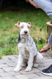 Portrait of Happy Fox Terrier Dog being groomed by his owner