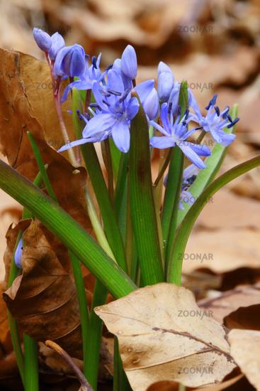 Alpine squill, Scilla bifolia