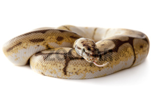 Schlange Snake Boa Natter with white background