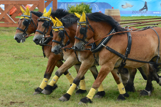 Draft Horse Racing in Germany