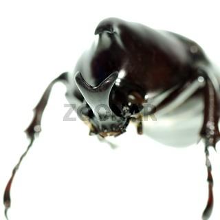 black rhino beetle isolated on white