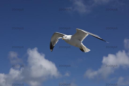 Flying Sea Gulls (Larus canus), North Frisia, Germany, Europe