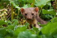Pine marten peeking out from plants in summer nature