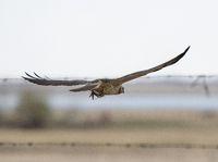 Hawk in Saskatchewan