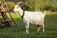 Female goat standing next to hay stand.