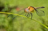 Dragonfly, Tropical Rainforest, Costa Rica