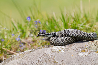 European adder hissing with a tongue sticking out on a stone in the middle of a meadow