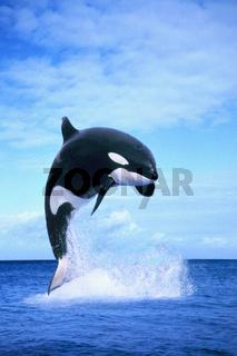 springender Orca (Schwertwal)