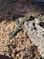 Lizard at the