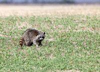 Racoon in Field